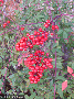 Red Berries II
